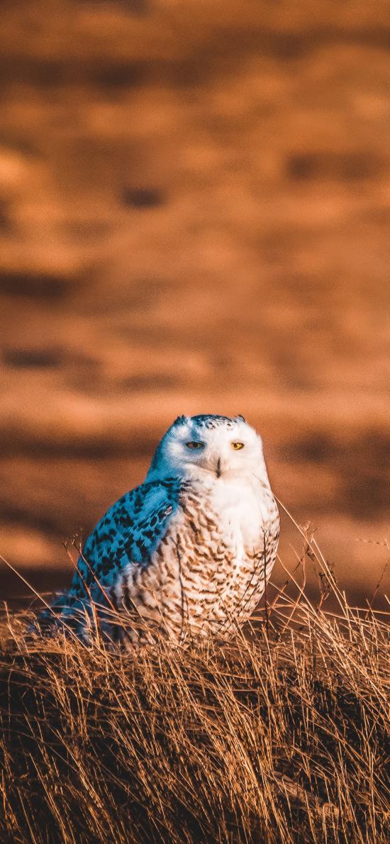 猫头鹰 野外 鸟类 夜视