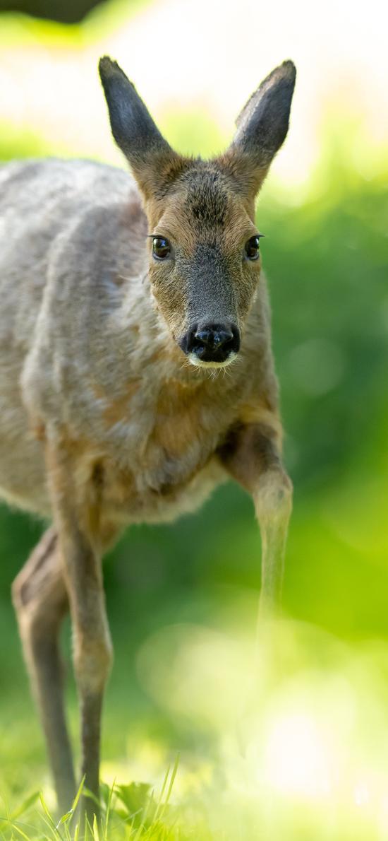 郊外 鹿 怀孕 呆萌