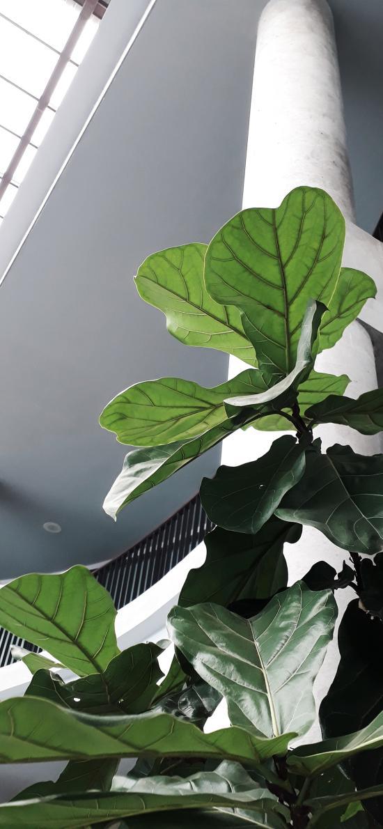 绿植 观赏性 盆栽 大叶