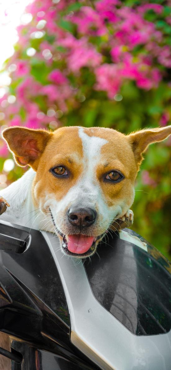 狗 宠物 汪星人 犬 可爱