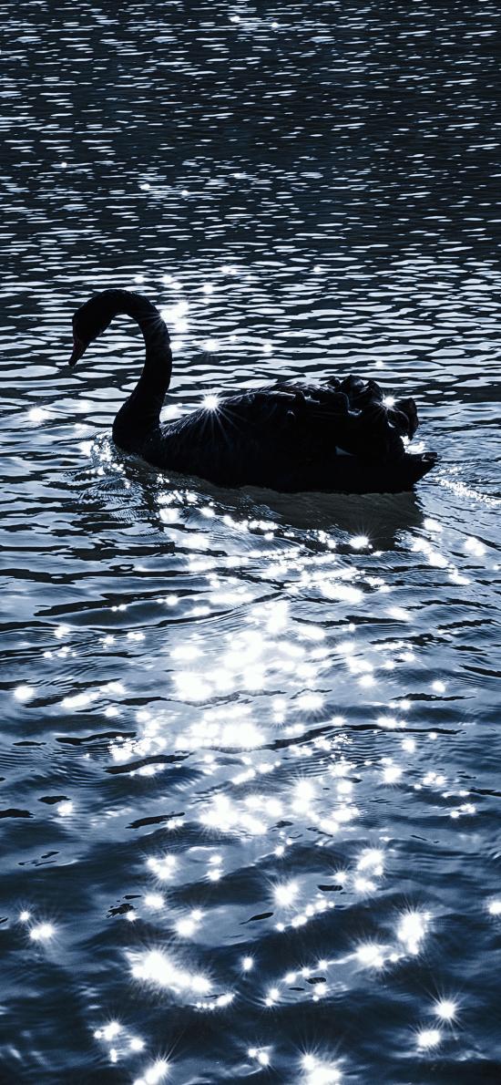 天鹅 湖水 波光粼粼 唯美