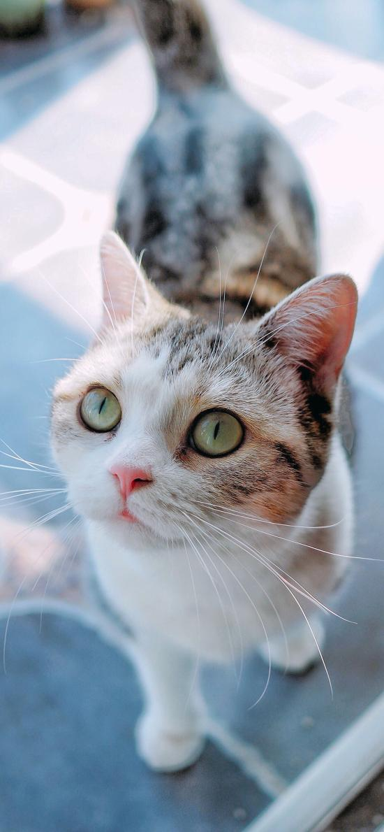猫咪 宠物 花猫 猫须