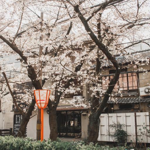 日系 建筑 樱花树 浪漫
