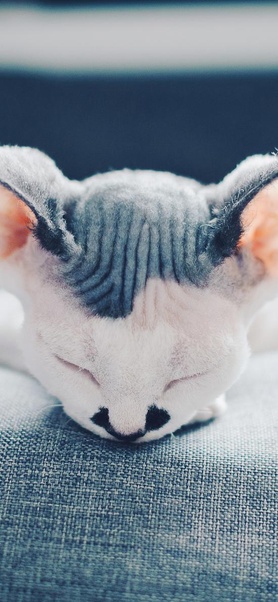 斯芬克斯猫 宠物 无毛猫 加拿大