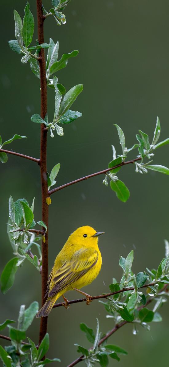 小鸟 黄鹂 树枝 枝头