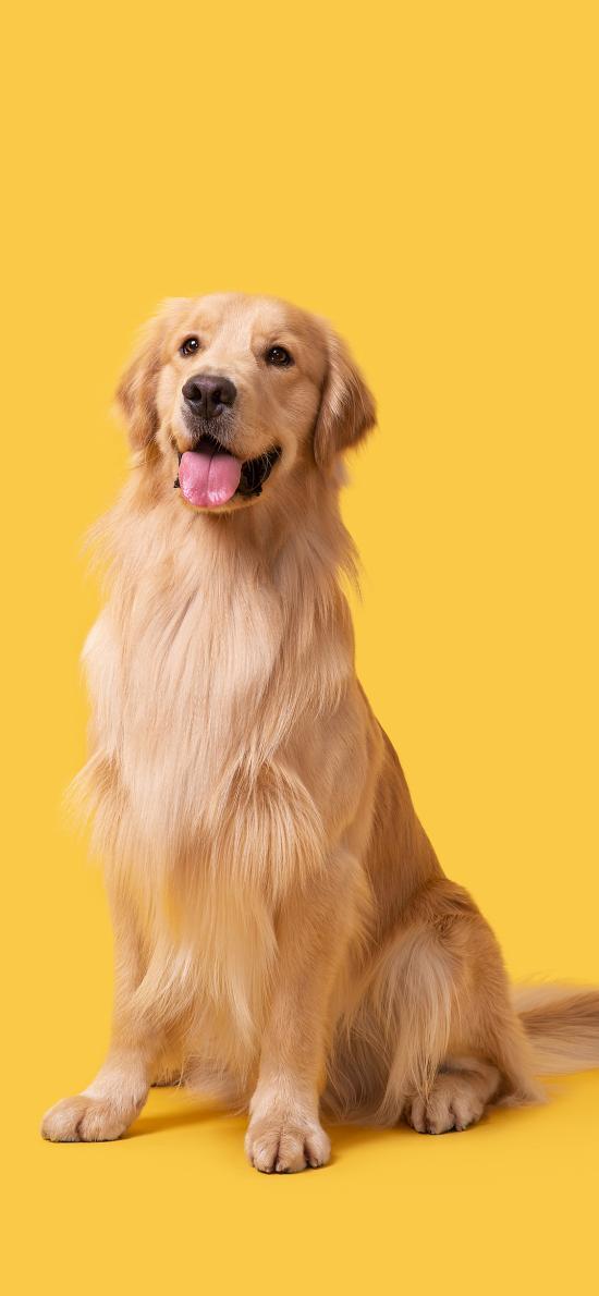 金毛犬 狗 汪星人 宠物 黄色