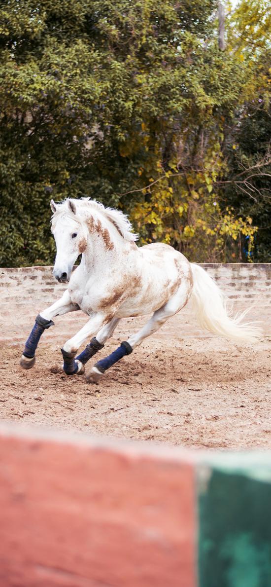 马场 白马 奔跑 训练