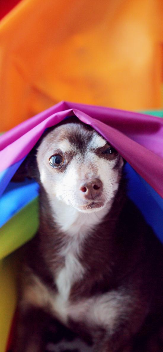 布匹 色彩 宠物狗 可爱