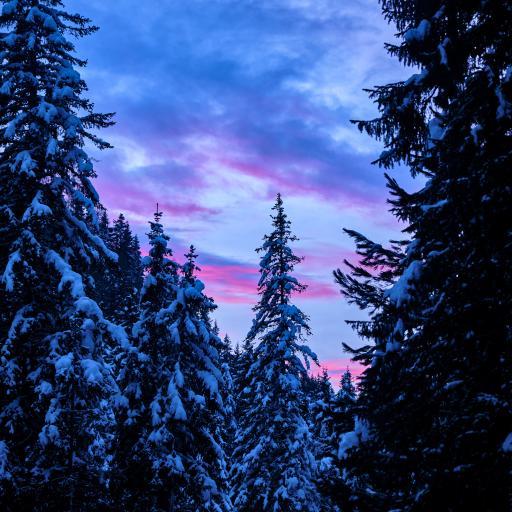 森林 塔松 白雪覆盖 傍晚