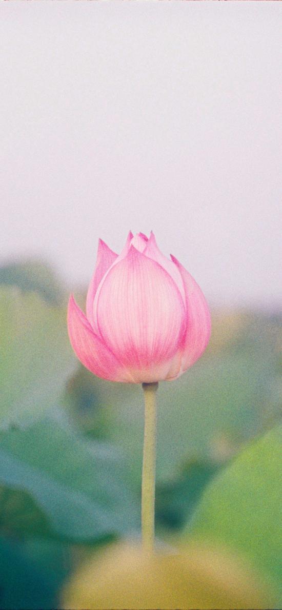 荷花池 荷花 粉色 含苞待放 荷叶