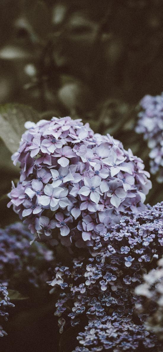 绣球花 鲜花 盛开 花团锦簇 紫色