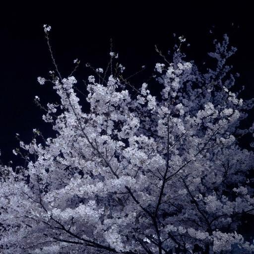 樱花 夜晚 鲜花 盛开 唯美