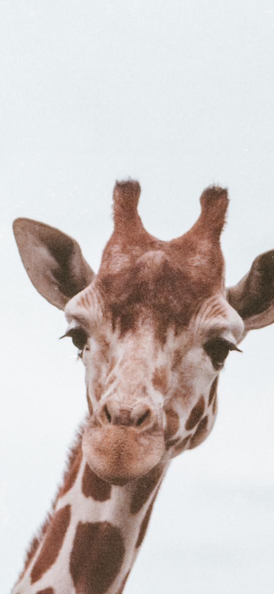 长颈鹿 头部 牲畜 呆萌
