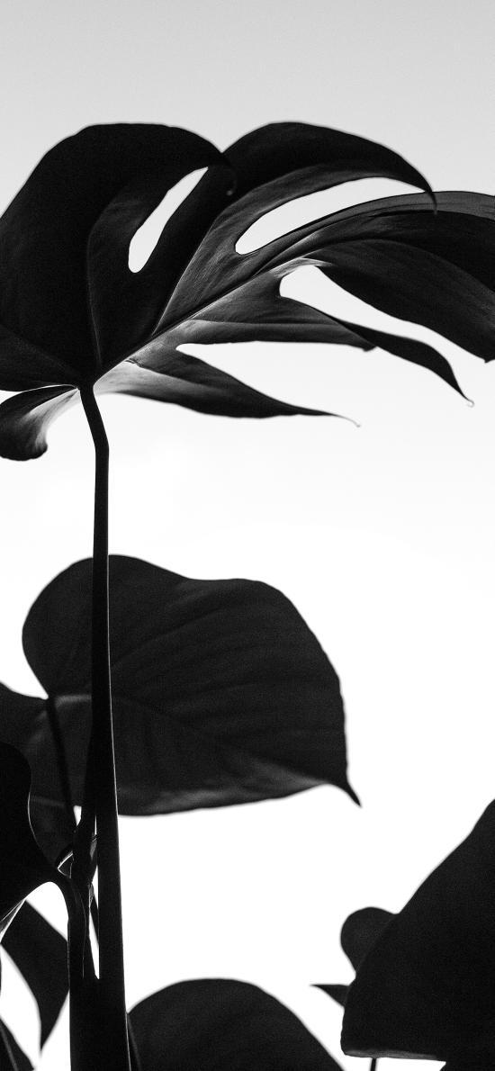 绿植 黑白 龟背竹 墨绿