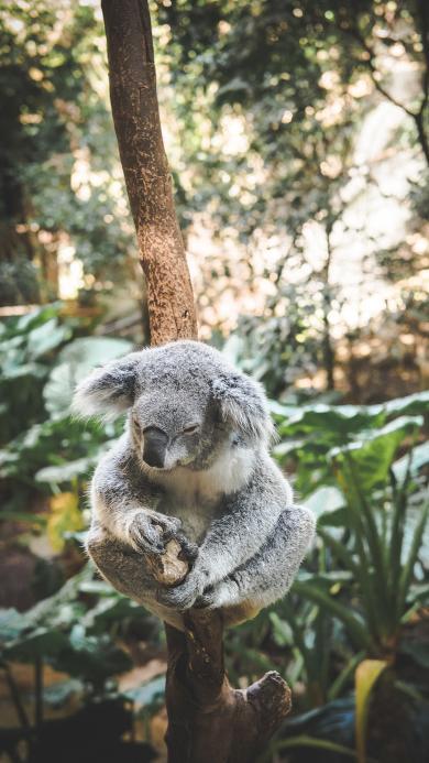 树袋熊 考拉 睡眠 休憩 树枝
