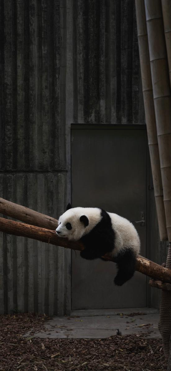 熊猫 国宝 饲养 哺乳