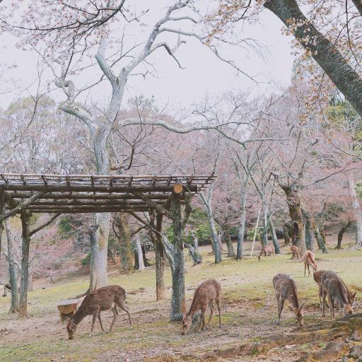公园 饲养 樱花树 树林 花季 鹿