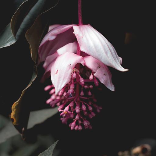 鲜花 宝莲花 盛开 垂吊