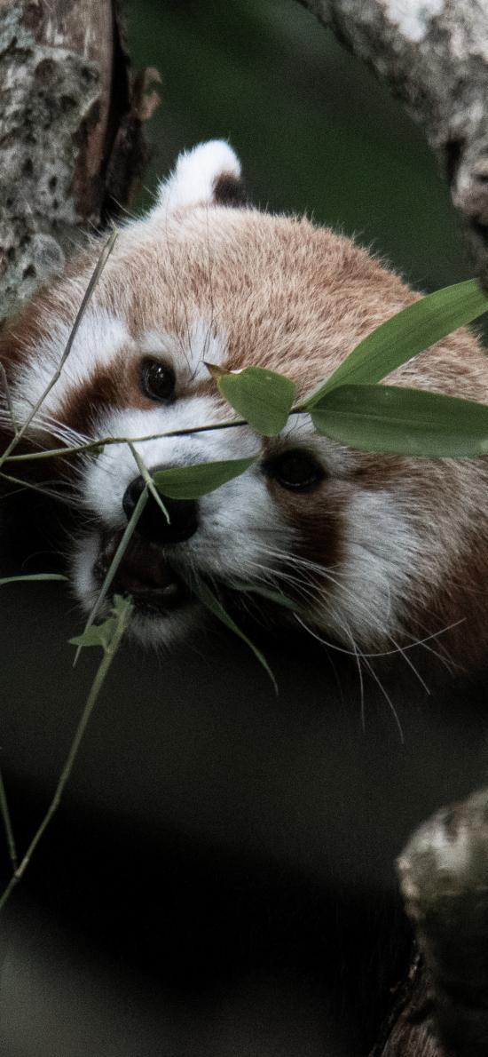 树木 小熊猫 进食 竹叶