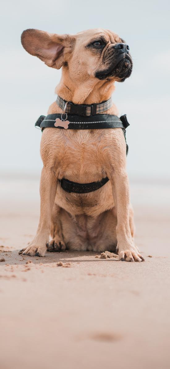 沙滩 宠物狗 法斗犬 汪星人