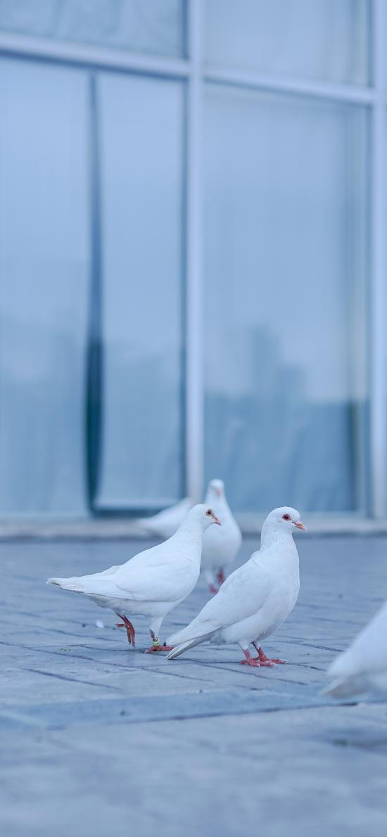 鸽子 白鸽 鸟 翅膀 地板