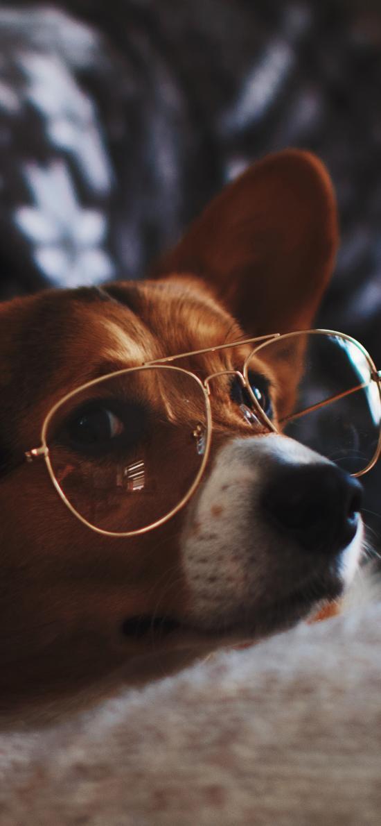柯基 犬 狗 汪星人 眼镜 宠物