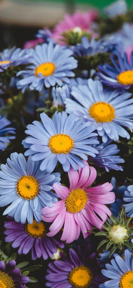雏菊 鲜花 盛开 花季