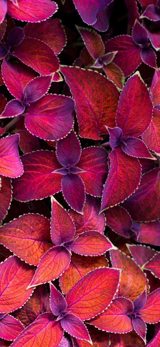 植株 彩叶草 红色 鲜艳