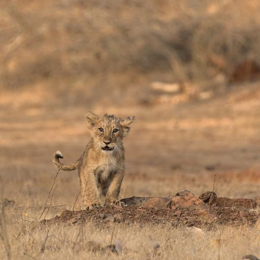 幼仔 狮子 野外 小狮子