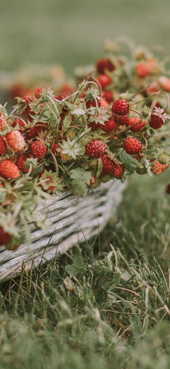 草地 野果 野草莓 酸甜