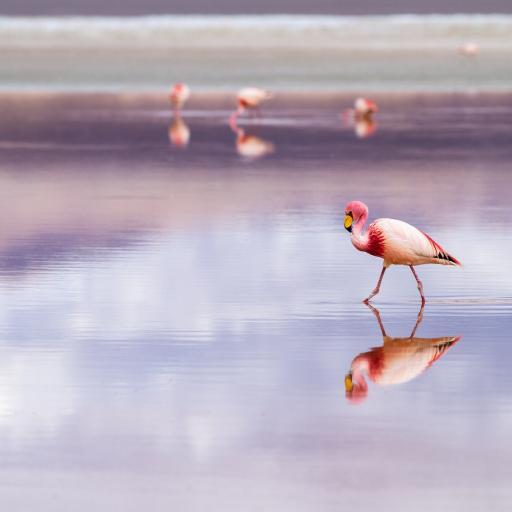 湖泊 候鸟 火烈鸟 粉色羽毛