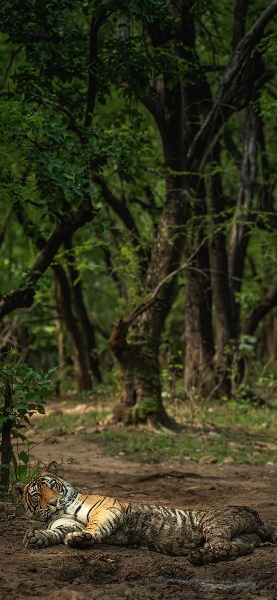 森林 老虎 躺着 肉食动物 凶猛