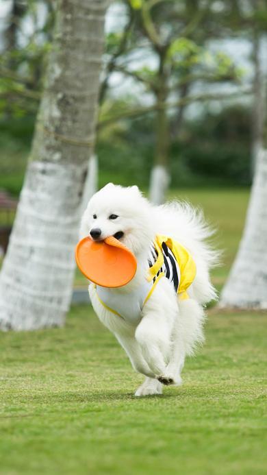 萨摩 宠物 草地 玩耍 飞盘