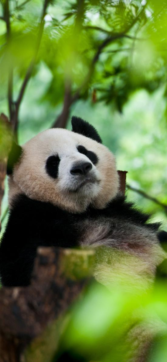 熊猫 国宝 猫科 树叶