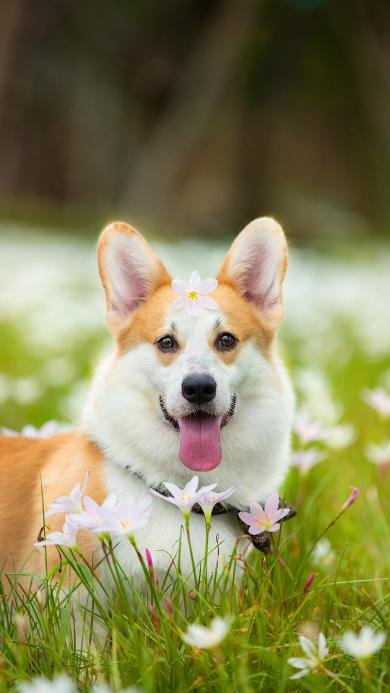 宠物 柯基 花草 草地 可爱