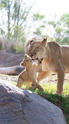 狮子 亲子 草地 阳光