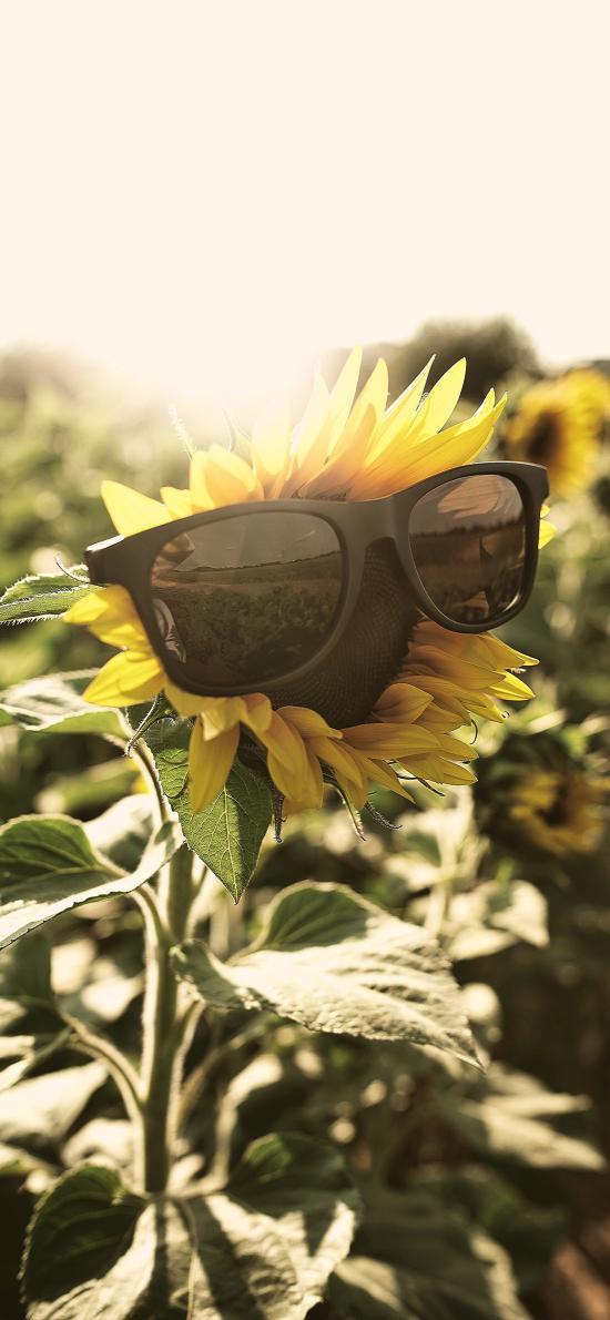 花田 鲜花 向日葵 眼镜