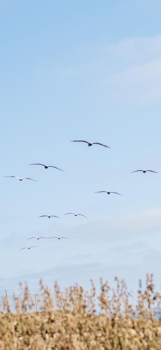 蓝天 大雁 候鸟 飞行