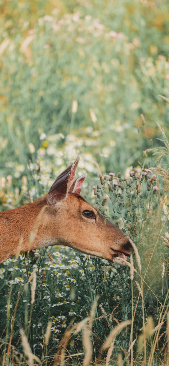 郊外 草地 小鹿 吃草