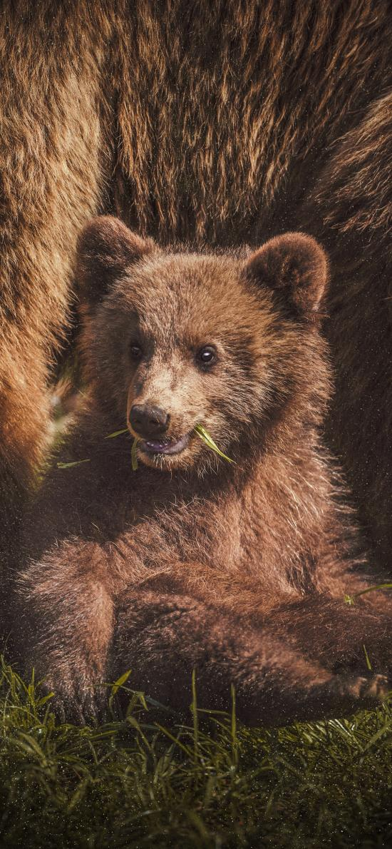 小熊 猛兽 皮毛 吃草