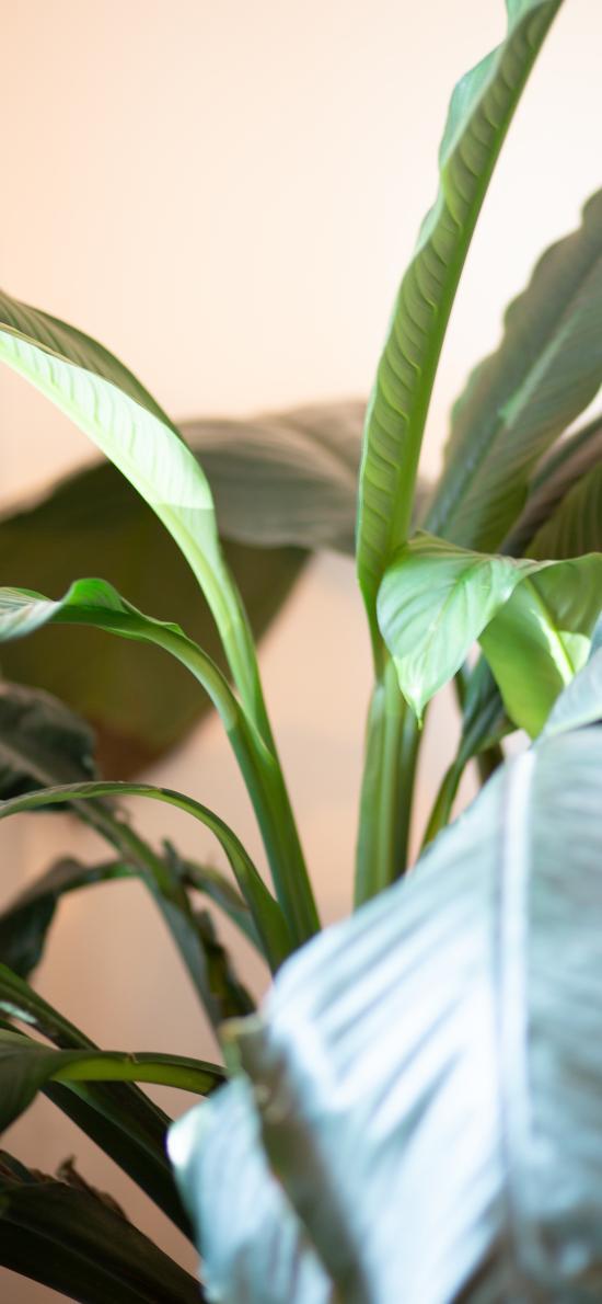 绿植 盆栽 绿叶 观赏性