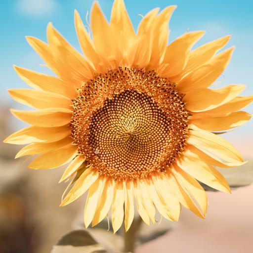 向日葵 葵花 花盘 鲜花