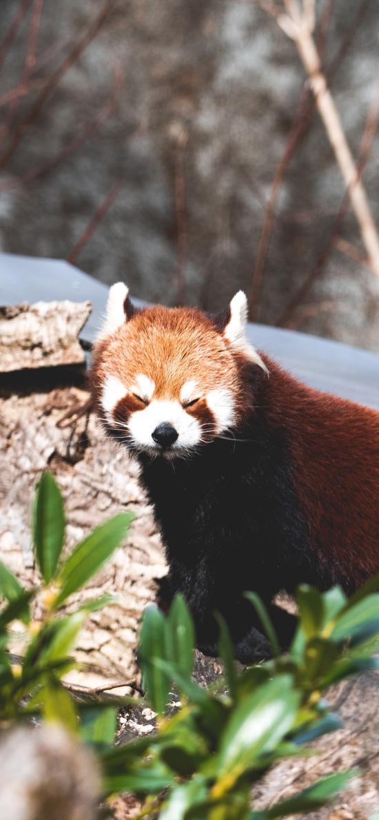 小熊猫 皮毛 休憩 哺乳