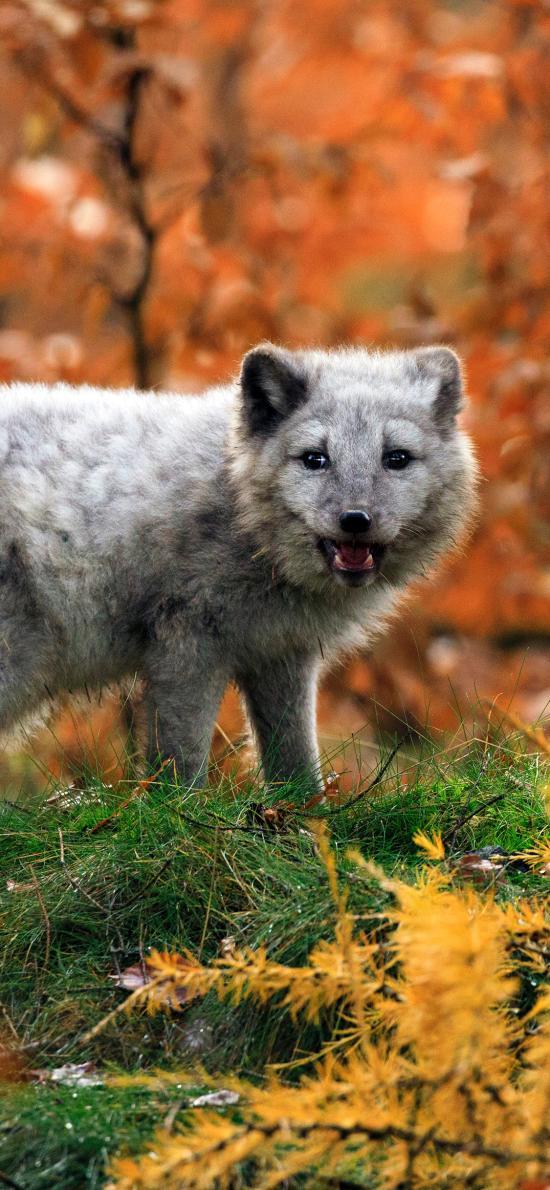 郊外 从来 狐狸 皮毛
