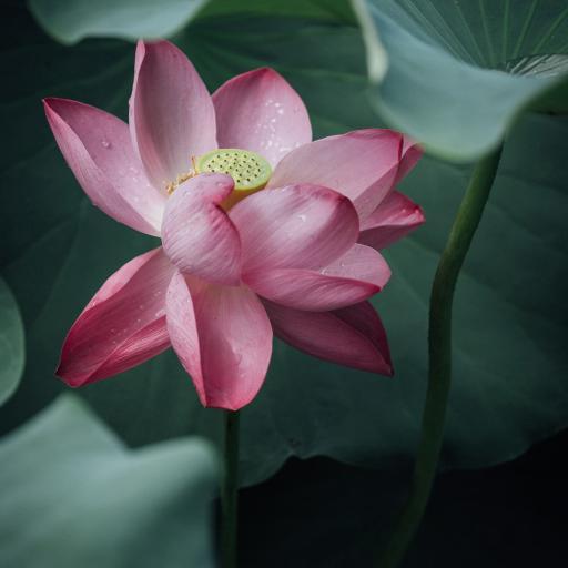 荷叶 荷花 粉色 莲蓬 盛开