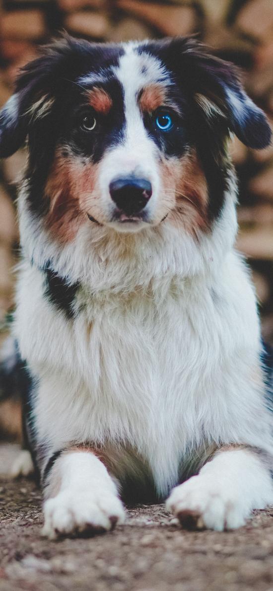 狗 宠物 花色 皮毛