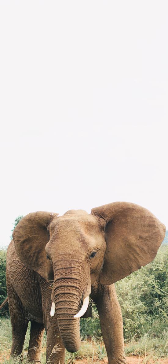 郊外 野生 大象 象牙