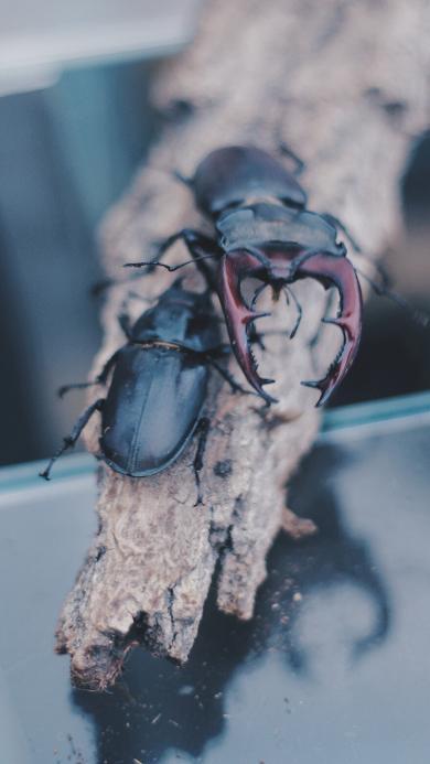 昆虫 楸型虫 锹甲 甲虫