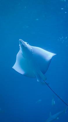 电鳐 软骨鱼 海洋 鱼类