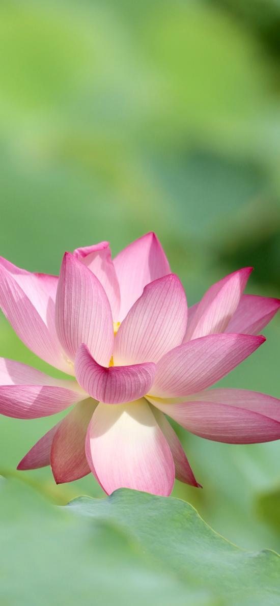 荷花 盛开 花朵 荷叶